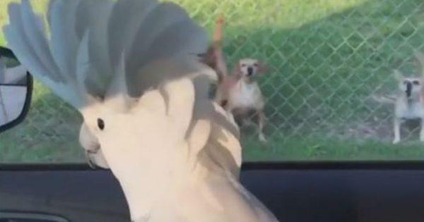 Παπαγάλος νομίζει πως είναι σκύλος και προσπαθεί να γαβγίσει (video)