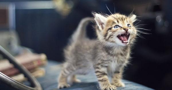 Εσείς ξέρετε ποιες γάτες νιαουρίζουν περισσότερο;