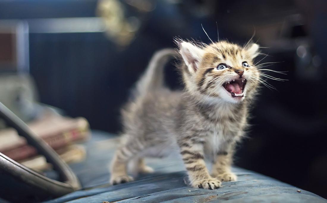 νιαούρισμα γάτες