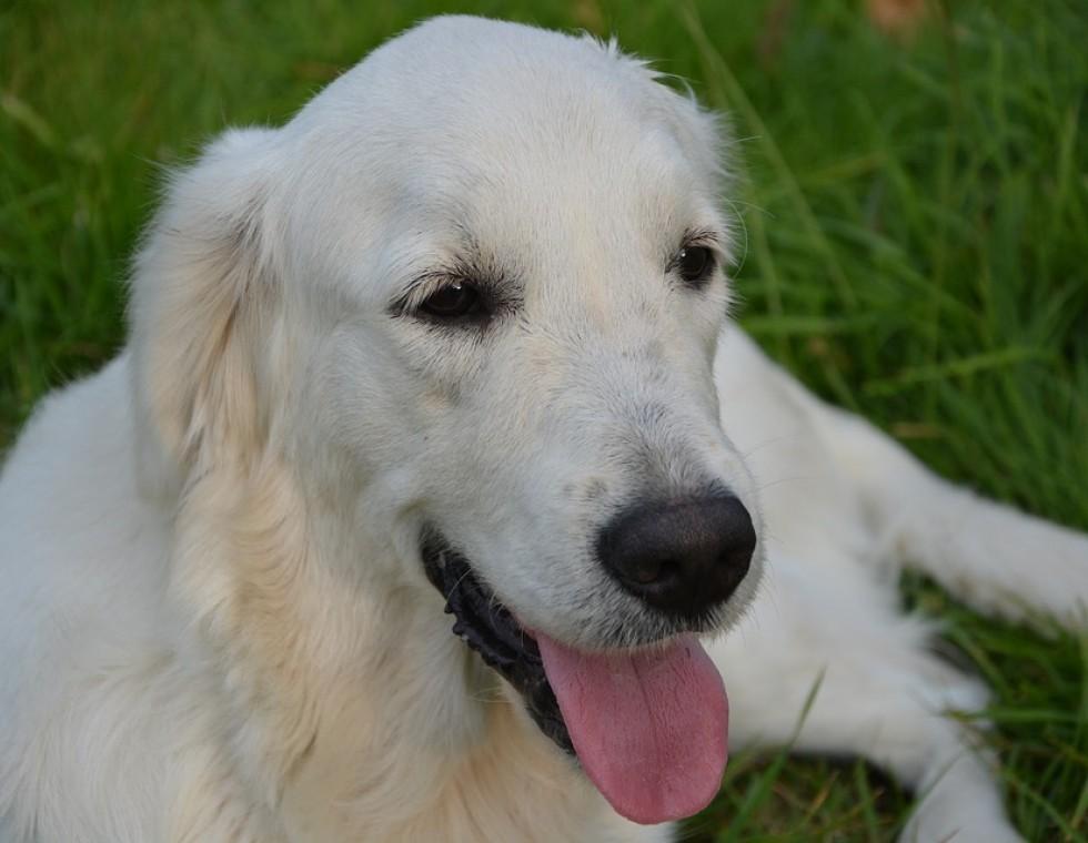 dog-2681292-960-720