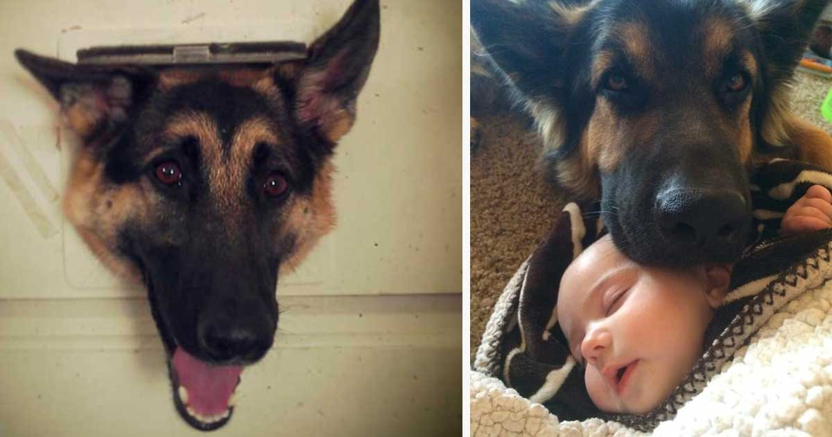 german_shepherd_family_dog_featured