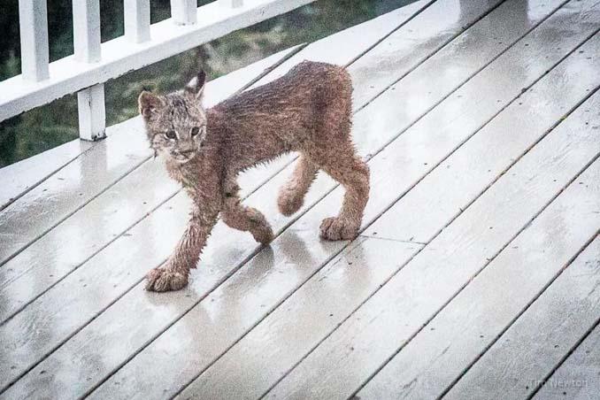 Αλάσκα lynx