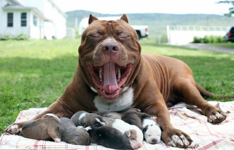 pit bull κουτάβια Pit Bull