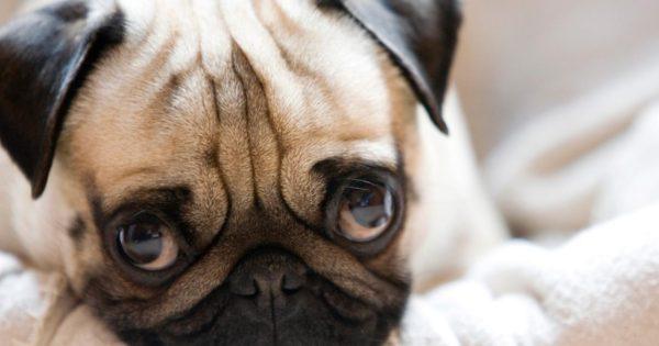 Βίντεο: Πως η ανθρώπινη παρεμβατικότητα… κατέστρεψε ορισμένες ράτσες σκύλων