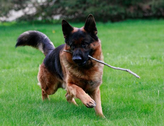 σκύλος για οικογένεια σκύλοι για οικογένεια οικογένεια κατοικίδιο γερμανικοί ποιμενικοί οικογένεια