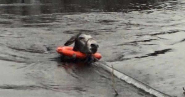 Είδαν ένα γαϊδουράκι να πνίγεται μέσα στο ποτάμι και του έσωσαν τη ζωή. Ο τρόπος που τους ευχαρίστησε; ΣΥΓΚΛΟΝΙΣΤΙΚΟΣ..!