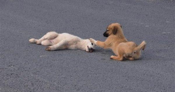 Θα δακρύσετε: Κουτάβι έμεινε δίπλα στον τραυματισμένο τετράποδο φίλο του μέχρι να τον πάνε στον κτηνίατρο!