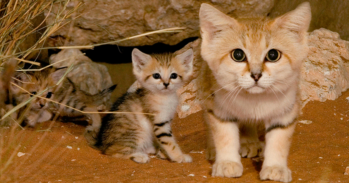 sand-cats-kittens-forever-fb