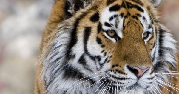 Εντυπωσιακό βίντεο: Drone καταγράφει τις άγριες τίγρεις της Σιβηρίας!