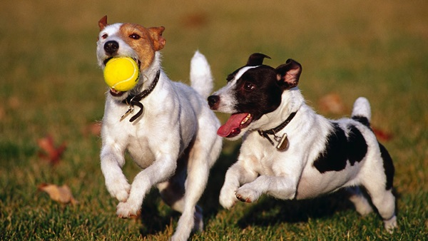 στείρωση σκύλου Σκύλος σκύλοι