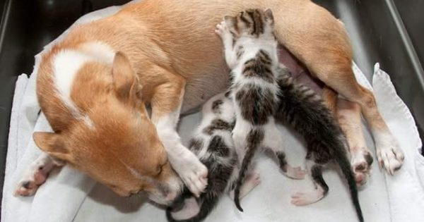 Σκυλίτσα που έχασε τα κουτάβια της υιοθέτησε μερικά γατάκια!