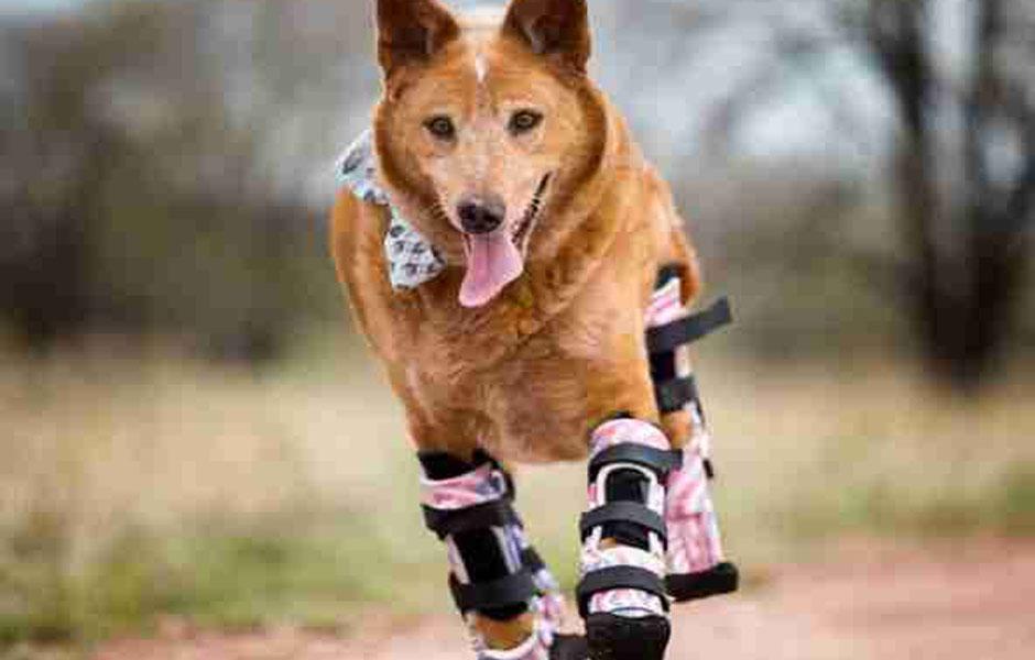 σκύλος με προσθετικά μέλη σκύλος έχασε τα άκρα του Σκύλος προσθετικά μέλη