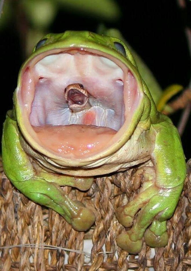 φίδι βάτραχος καταπίνει φίδι Βάτραχος