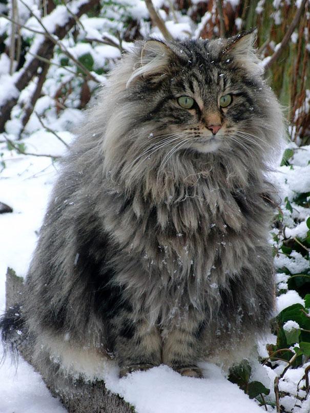 μεγάλες γάτες γάτες