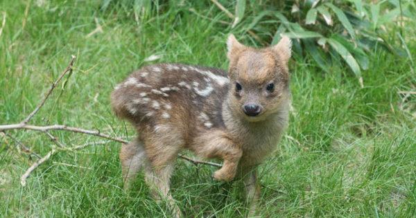 Ένα από τα μικρότερα ελάφια του κόσμου γεννήθηκε στον ζωολογικό κήπος της Νέας Υόρκης και ζυγίζει μόλις μισό κιλό