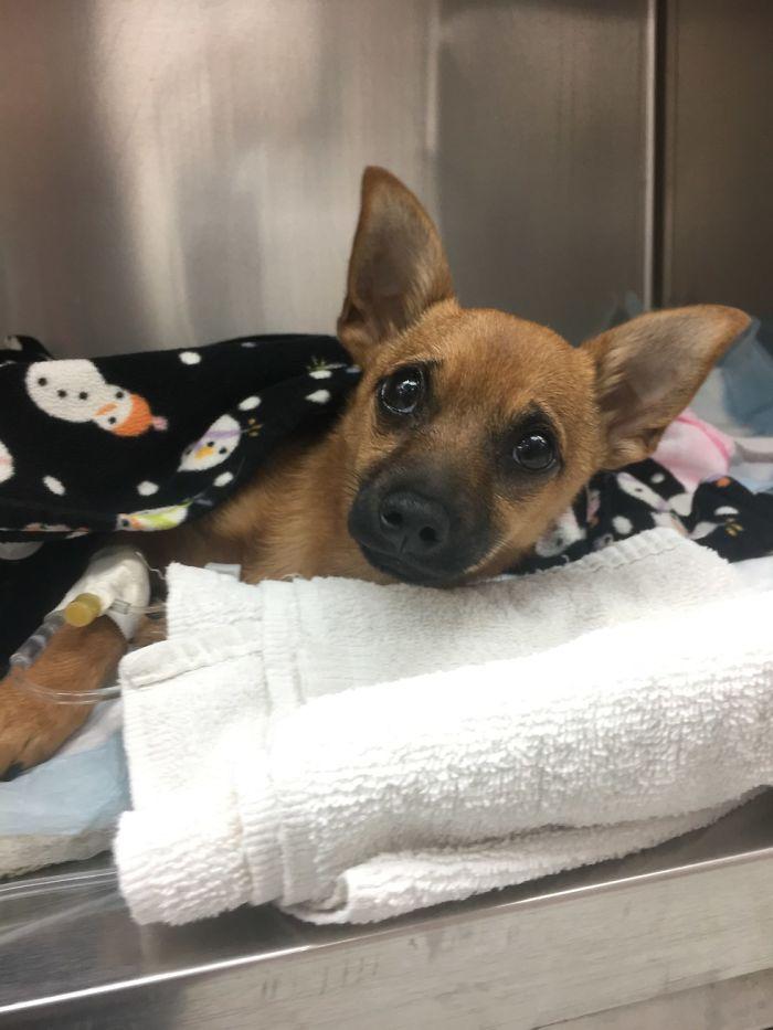 σκύλος ηρωίνη Σκύλος κουτάβι κακοποίηση κουτάβι ηρωίνη κουτάβι