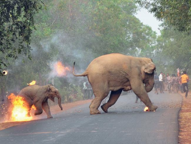 κακοποίηση ζώων ελέφαντες
