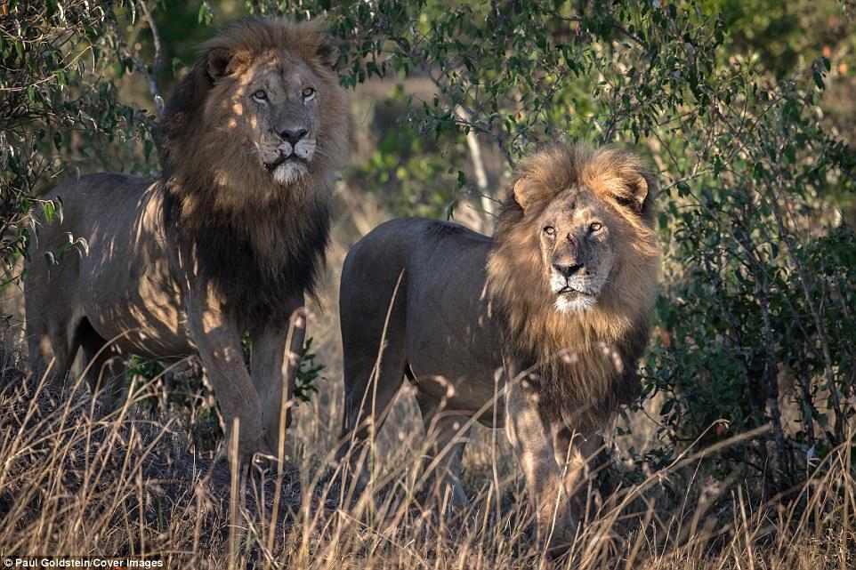 λιοντάρια γκέι λιοντάρια