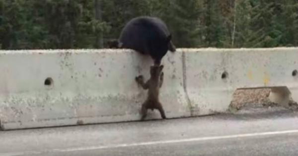Η συγκινητική στιγμή που η αρκούδα αρπάζει από το κεφάλι το μικρό της που έχει βγει σε εθνικό οδό! (ΒΙΝΤΕΟ)