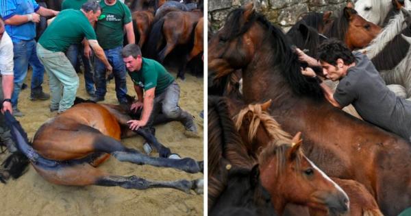ΑΙΣΧΟΣ: Οι ταυρομαχίες δεν είναι το μόνο βάρβαρο έθιμο στην Ισπανία – Μαντρώνουν εκατοντάδες άλογα για να τους κόψουν την χαίτη και την ουρά