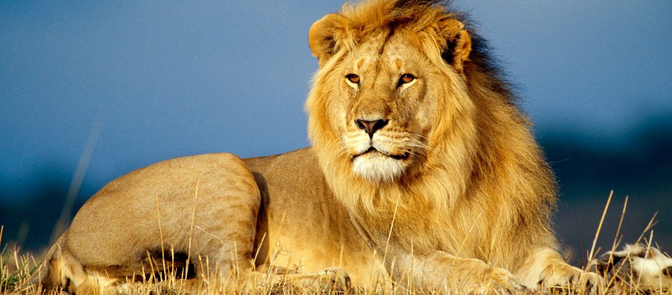 african_lion_king-wide