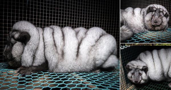 Κτηνωδία: Άνθρωποι μετατρέπουν τις αλεπούδες σε «τέρατα» για να παράγουν περισσότερη γούνα