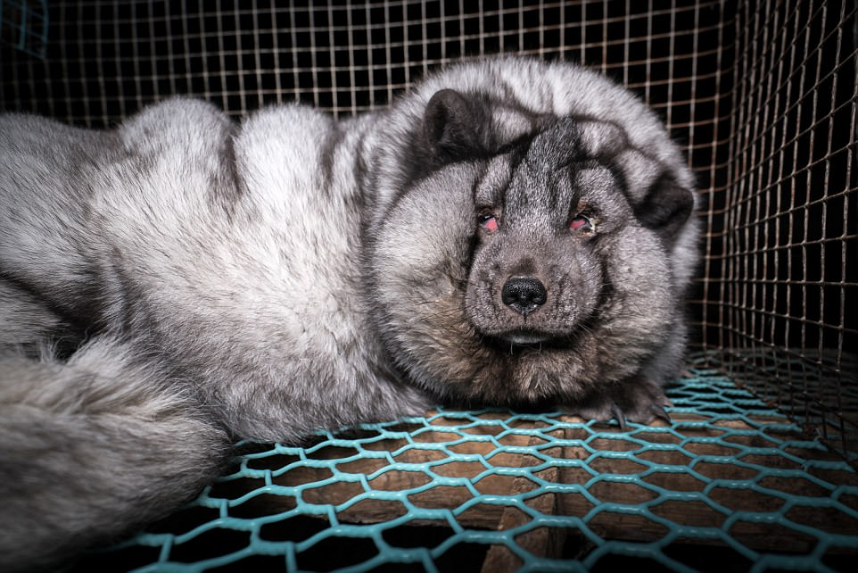 κτηνωδία κακοποίηση γούνα από αλεπούδες Αλεπούδες αλεπού