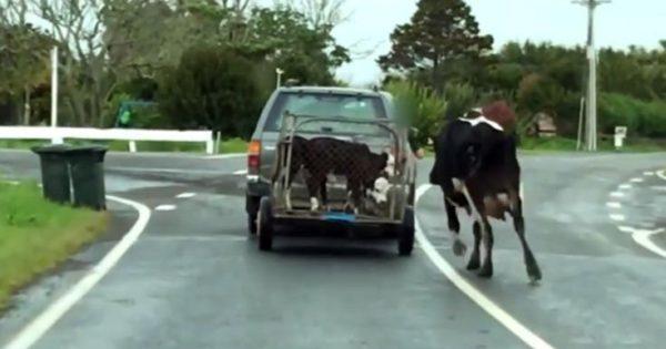 Μητέρα αγελάδα τρέχει πίσω από τα μικρά της στο πιο σπαρακτικό βίντεο της ημέρας