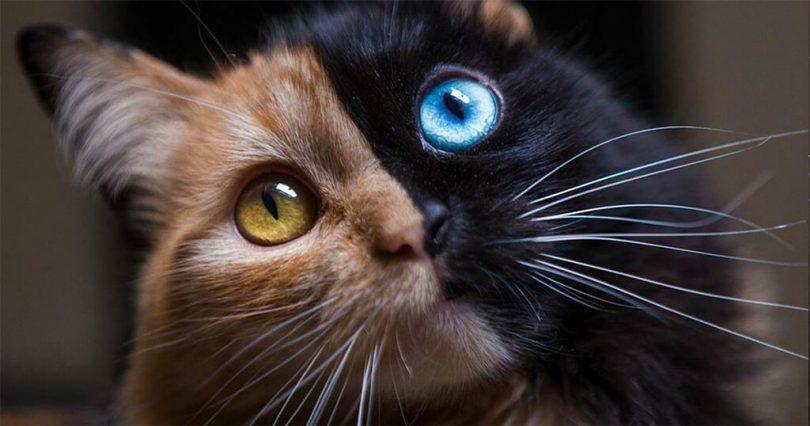χίμαιρα Γάτα