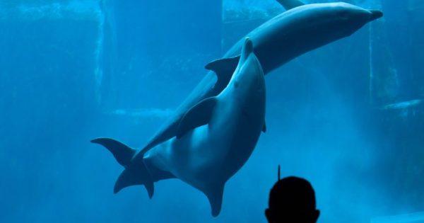 Πώς τα θηλυκά δελφίνια επιλέγουν τον πατέρα του παιδιού τους