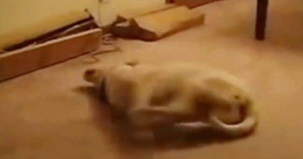 Αυτός ο σκύλος μάλλον βλέπει το καλύτερο όνειρο της ζωής του (vid)