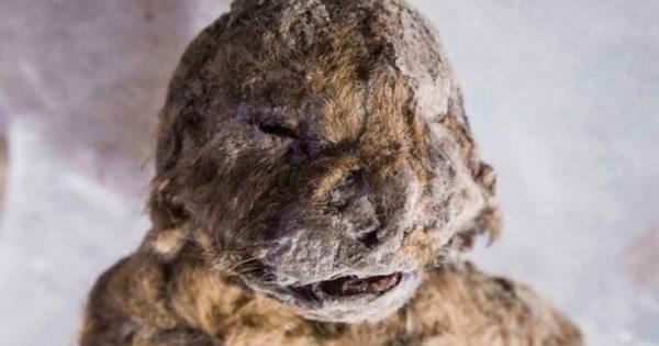 Επιστήμονες θέλουν να «αναστήσουν» λιοντάρι που πέθανε πριν από 50.000 χρόνια