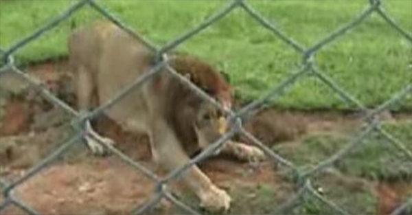 Λιοντάρι που σώθηκε από τσίρκο, αγγίζει το χώμα για πρώτη φορά στη ζωή του!
