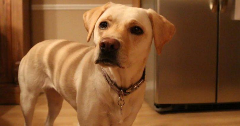 Σκύλος γλώσσα του σκύλου