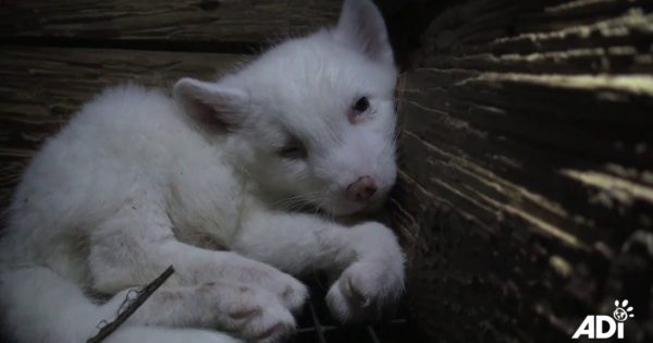 Αρκτικές αλεπούδες φυλακισμένες σε μικροσκοπικά κλουβιά σκοτώνονται με ηλεκτροσόκ για τη γούνα τους