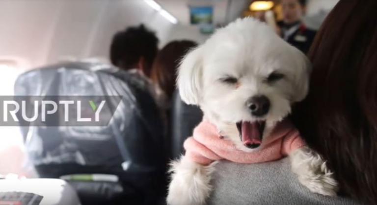 σκύλος στο αεροπλάνο σκύλος και αεροπλάνο Σκύλος κατοικίδια αεροπλάνο