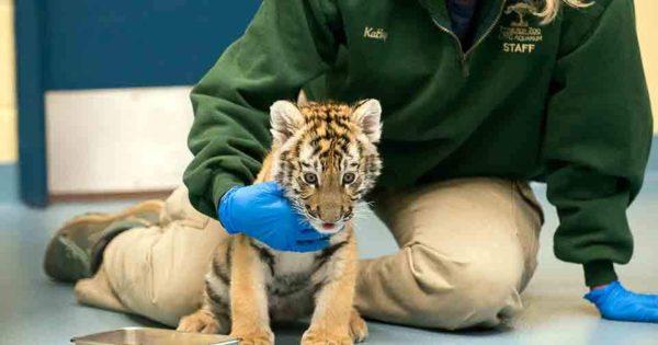 Ζωολογικό πάρκο υιοθέτησε σπάνια εγκαταλελειμμένα τιγράκια (video)