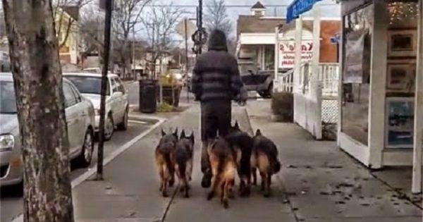 Βγάζει βόλτα 5 γερμανικά ποιμενικά χωρίς αλυσίδα και δείτε τι γίνεται! (βίντεο)