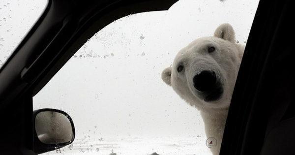 Τι κάνεις αν δεις μια πολική αρκούδα να σε κοιτά από το τζάμι του αυτοκίνητου; (εικόνα)