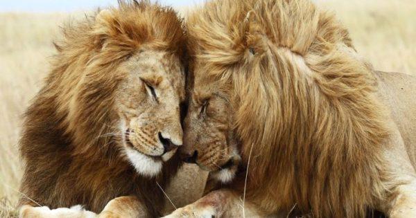 Απίστευτο: Δύο «γκέι» λιοντάρια σε ρομαντική συνεύρεση στην Κένυα