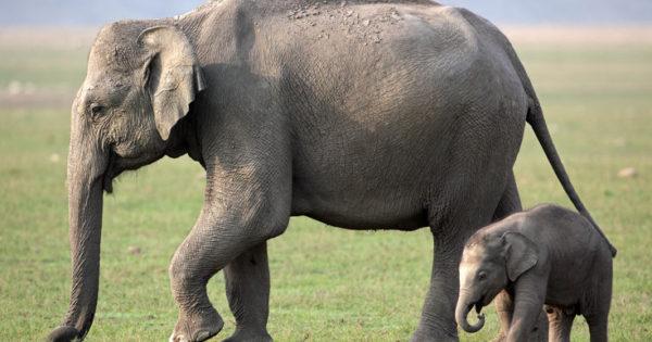 Ερευνητές ζητούν… άδεια εγκυμοσύνης για τις ελεφαντίνες