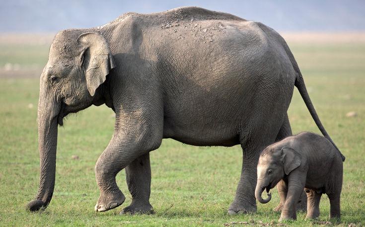 ελεφαντίνες ελέφαντας