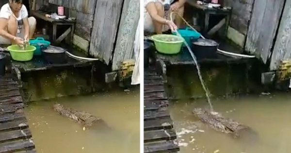 Γυναίκα παίζει και ταΐζει 4,5 μέτρων αλιγάτορα ως κατοικίδιο