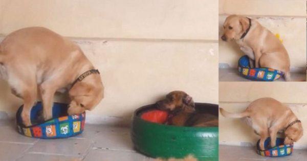 Λυπημένος σκύλος προσπαθεί να μπει μέσα σε κρεβατάκι που δεν χωράει