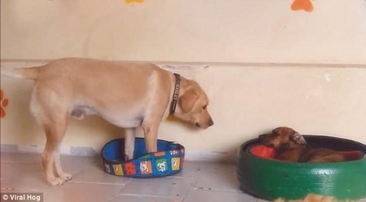 σκύλος κρεβατάκι Σκύλος