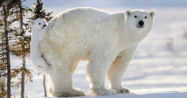 Φωτογράφος από τον Καναδά απαθανάτισε την πιο στοργική πολική αρκούδα στον κόσμο!
