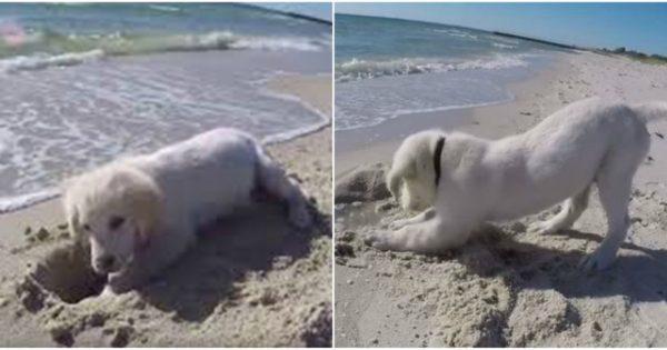 Κουτάβι παίζει στην άμμο και «τσαντίζεται» όταν του χαλάει την τρύπα το κύμα