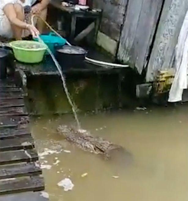 αλιγάτορας