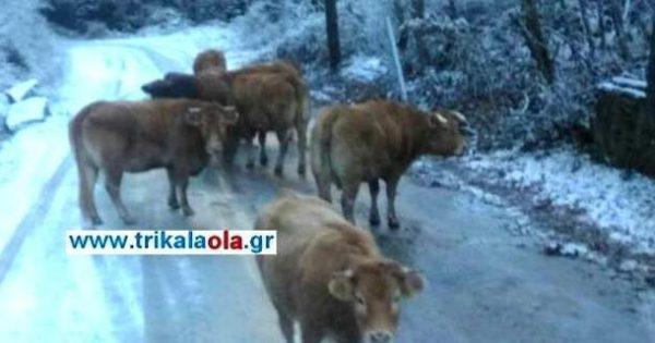 Αγελάδες τρώνε το αλάτι από τους δρόμους (Τρίκαλα)