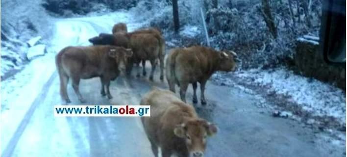 αγελάδες τρίκαλα αγελάδες αλάτι